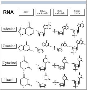 ChemBioDraw中tRNA模板