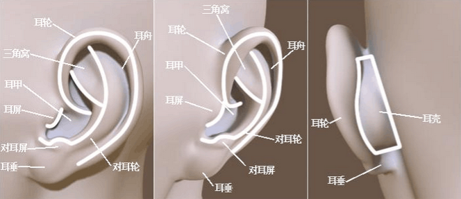 耳朵结构示意图