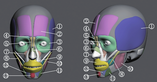 脸部肌肉名称图示