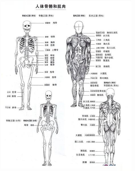 ZBrush肌肉骨骼