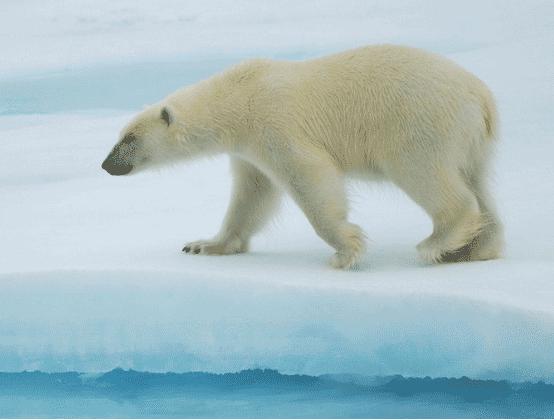 冰点系统北极熊图标