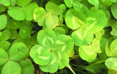 象征幸运的五叶草