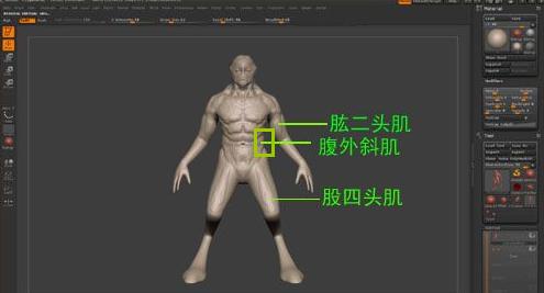 雕刻骨骼肌肉